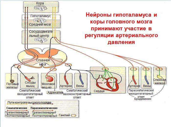 Окончание артериальное