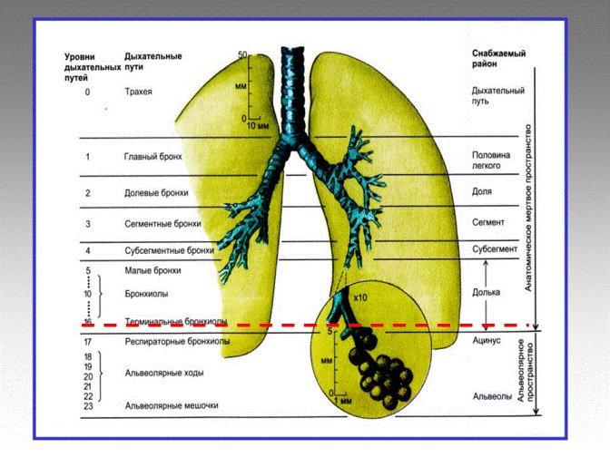 3. Эпителий дыхательного пути