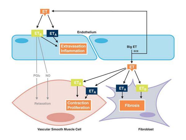 анализ функция эндотелия