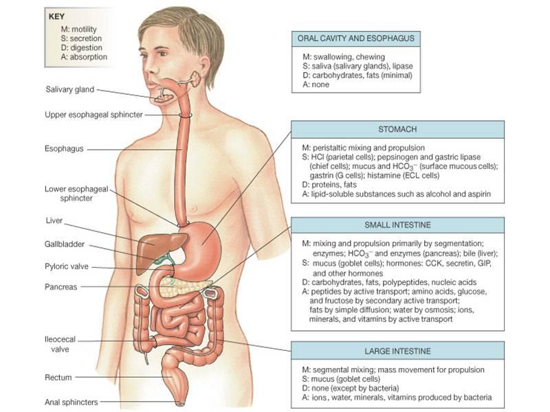 желудочно-кишечного тракта