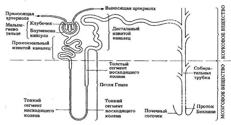 Общая схема строения нефрона.